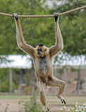 A Gibbon, Hylobates, Hangs from a Rope Royalty Free Stock Images