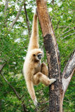 Gibbon (Hylobates lar) climb tree in forest ,Chiangrai ,Thailand Royalty Free Stock Photo