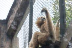 Gibbon-Hylobatidae Royalty-vrije Stock Afbeelding