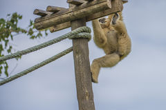 Gibbon, hylobatidae Royalty-vrije Stock Foto's
