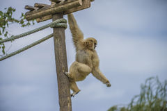 Gibbon, hylobatidae. The photo is shot at Zoomarine, Guia, Portugal Royalty Free Stock Photos