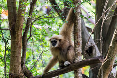 Gibbon i den Chiangmai zoo, Thailand Royaltyfria Foton