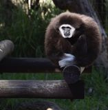 Gibbon i fångenskap Royaltyfri Fotografi