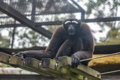 Gibbon i zoo, Hylobatidae arkivfoton
