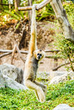 Gibbon im chiangmai Thailand Lizenzfreie Stockfotografie