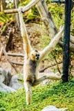 Gibbon im chiangmai Thailand Lizenzfreie Stockbilder