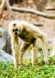 Gibbon im chiangmai Thailand Stockbild
