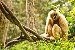 Gibbon im chiangmai Zoo Stockbild