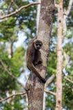 Gibbon im Wald in Borneo Lizenzfreie Stockfotos