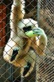 Gibbon im Zoo lizenzfreies stockbild