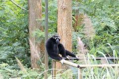 Gibbon ist das Sitzen einsam stockbild