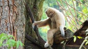 Gibbon jaune avec le sourcil de visage noir et de blanc, la joue, les mains, et les pieds banque de vidéos