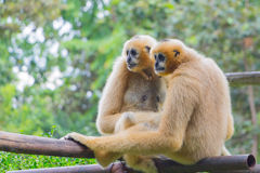 Gibbon in the jungle Royalty Free Stock Photo