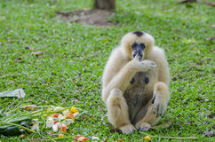 Gibbon in the jungle Royalty Free Stock Image
