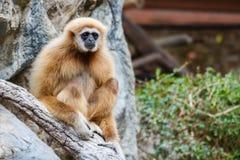 Gibbon (lar) del Hylobates, Chiangrai, Tailandia Imágenes de archivo libres de regalías