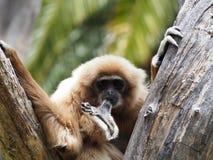 Gibbon, lar monkey on a tree Royalty Free Stock Photography