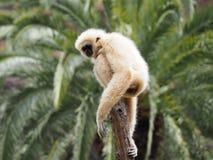 Gibbon, lar monkey on a tree Stock Image