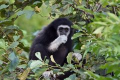 Gibbon among the leaves Royalty Free Stock Photos