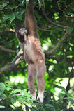 Gibbon or lesser apes Royalty Free Stock Photo