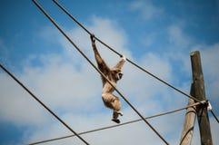 Gibbon in Lissabon-Zoo Lizenzfreie Stockfotografie