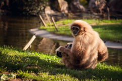 Gibbon in Lissabon-Zoo Lizenzfreies Stockfoto