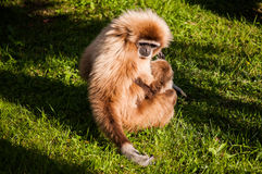 Gibbon in Lissabon-Zoo Stockbilder