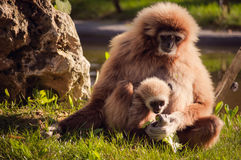 Gibbon in Lissabon-Zoo Stockbild