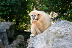 Gibbon lonely on rock Royalty Free Stock Images