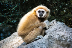 A Gibbon lonely on rock Stock Photo