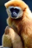 Gibbon małpa Zdjęcie Royalty Free