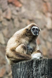 Gibbon in majestic pose Royalty Free Stock Photography