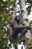 Gibbon. A male gibbon hangs in Borneo's Tanjung Putting national park Royalty Free Stock Images