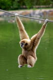 Gibbon monkey. Gibbon child monkey hanging on rope, vertical royalty free stock image