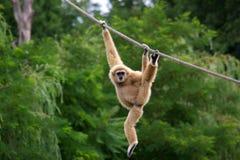 Gibbon monkey. Gibbon child monkey hanging on rope, horizontal Royalty Free Stock Photo