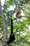 Gibbon monkey family Stock Image