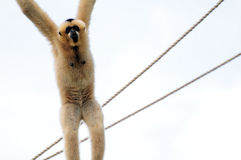 Gibbon Monkey Hanging On Rope Stock Images
