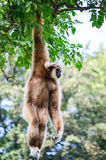 Gibbon monkey. Hanging on three Royalty Free Stock Photos