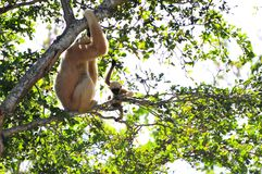 Gibbon monkey and her young playing Stock Photos