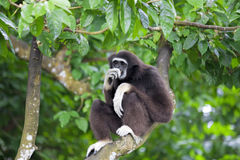 Gibbon Monkey Royalty Free Stock Images