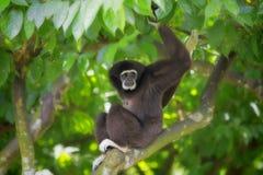 Gibbon Monkey. In Kota Kinabalu, Borneo, Malaysia Stock Images