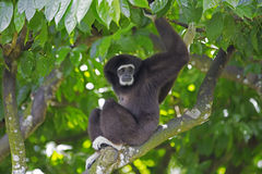 Gibbon Monkey Stock Photos