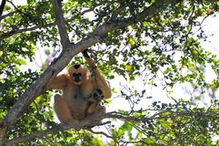 Gibbon monkey (Nomascus) and her offspring Royalty Free Stock Photo