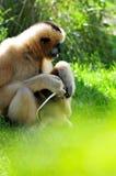 Gibbon monkey protecting & feeding baby stock images