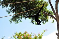 Gibbon monkey on rope, swinging Royalty Free Stock Photography