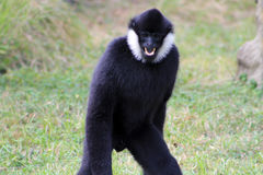 Gibbon showing teeth. Gibbon monkey showing teeth while walking at local zoo Stock Images