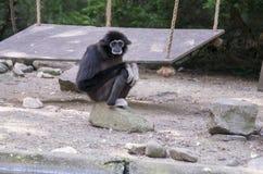 Gibbon monkey Royalty Free Stock Images
