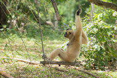 Gibbon monkey sitting on swing stock photography