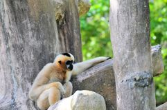 Gibbon monkey sitting in zoo Stock Photography