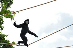 Gibbon Monkey Tightrope Walking Stock Photo