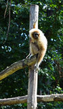 Gibbon monkey Stock Images